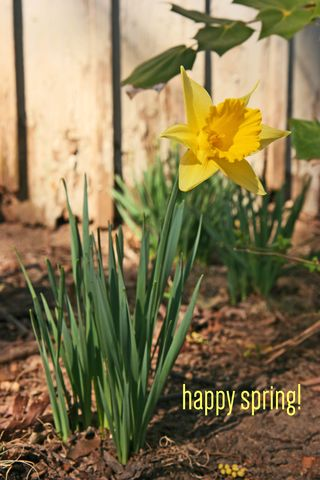 Daffodil for real
